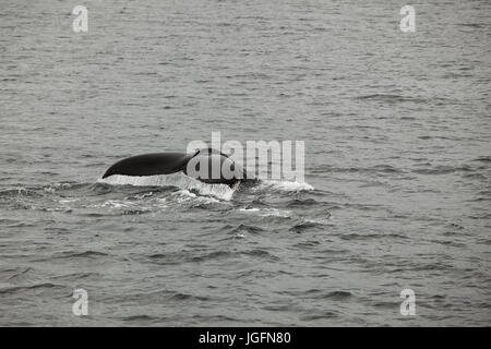 The tail fin of a humpback whale, Megaptera Novaeangliae, breaches the water. - Stock Photo