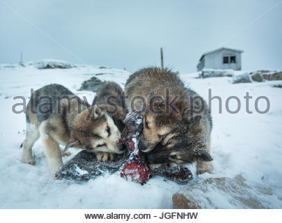 Sled dogs are fed killer whale meat in the small Inuit settlement of Isortoq in East Greenland. - Stock Photo