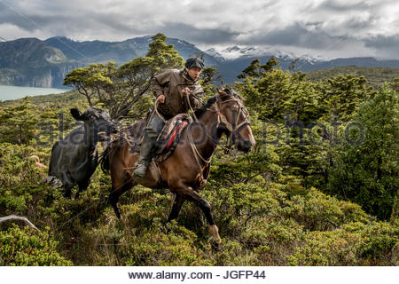 A bagualero, or cowboy who captures feral livestock, drags a feral and stubborn cow to a camp. - Stock Photo
