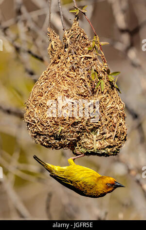 Male Cape Weaver (Ploceus capensis)  hanging from his recently constructed grass nest. - Stock Photo