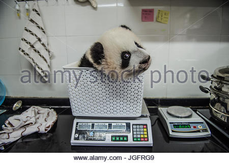 A giant panda cub gets weighed at Bifengxia Giant Panda Breeding and Research Center. - Stock Photo