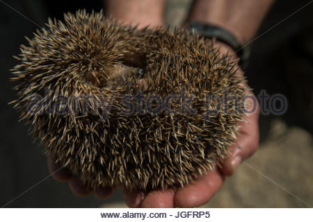 A long eared hedgehog in the Great Gobi Strictly Protected Area. - Stock Photo