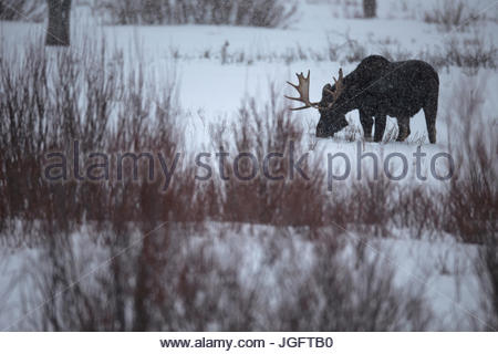 A bull moose, Alces alces, grazing in Yellowstone National Park. - Stock Photo