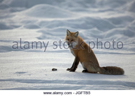 A red fox, Vulpes vulpes, hunting in Yellowstone National Park. - Stock Photo