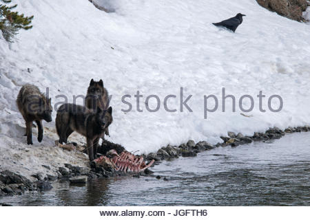 The alpha female of the Mollie's wolf pack and her two year-old offspring feast on the carcass of a bison that drowned - Stock Photo