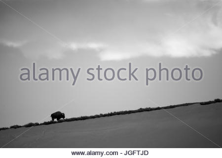 An American bison, Bison bison, stands on a hill. - Stock Photo