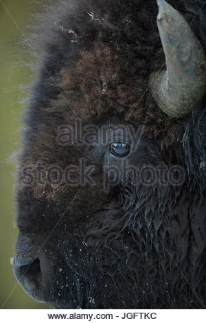 Portrait of an American bison, Bison bison. - Stock Photo