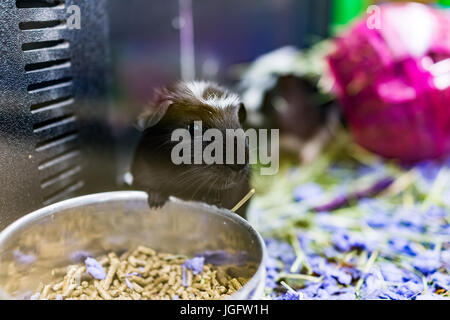 Closeup of cute black and white guinea pig with whiskers eating from bowl - Stock Photo