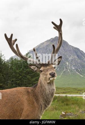 Red deer stag and Buachaille Etive Mor, Glencoe, Scotland, UK - Stock Photo
