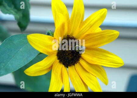 Black-eyed susan flower with bee on it next to house - Stock Photo