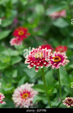 Zinnia hybrida. Zinnia elegans 'Whirligig improved mixed' flowers - Stock Photo