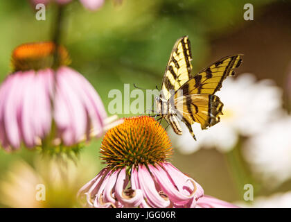A yellow and black monarch butterfly drinks nectar from a flower. - Stock Photo