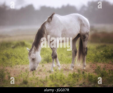 A Horse grazes in a pasture on a foggy afternoon, Northern California, USA - Stock Photo