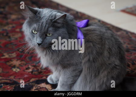 American breed of domestic cat, the Nebelung wearing a purple ribbon - Stock Photo