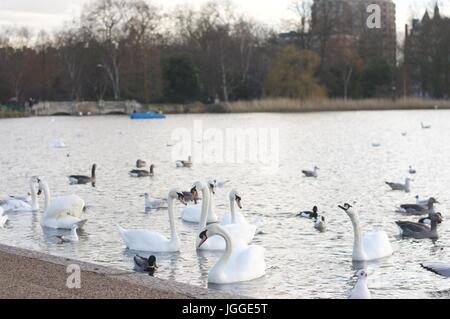 Swans and ducks feeding in Hyde Park Serpentine - Stock Photo