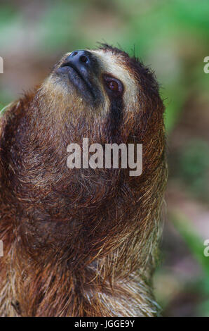 three-toed sloth face close up wildlife image taken in Panama - Stock Photo