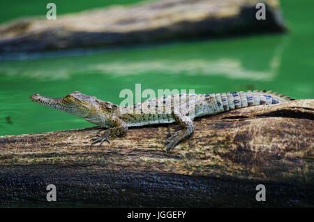 Baby crocodile on a tree strunk in a lake wildlife image taken in Panama - Stock Photo