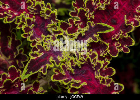 Solenostemon scutellarioides leaves on a garden in the day - Stock Photo
