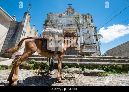 A local man from Guatemala, charging his donkey (mule) in Guatemala - Stock Photo