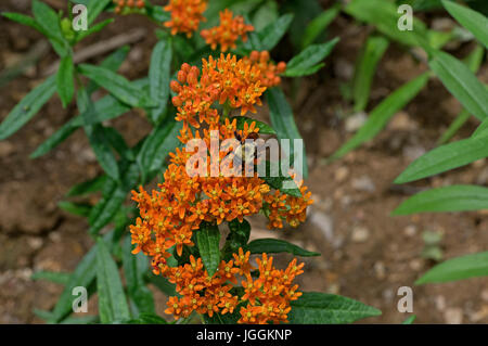 Bumblebee which is a member of the genus Bombus, part of Apidae on Butterfly weed. - Stock Photo