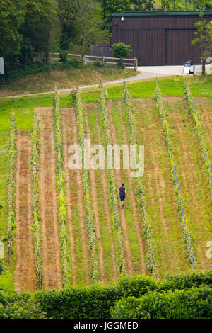 A worker checking the vines on a summers day at the renowned wine makers at Camel Valley Vineyard, Bodmin, Cornwall - Stock Photo