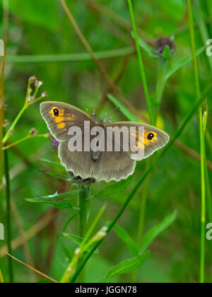 Meadow Brown butterfly Maniola jurtina feeding on knapweed Local nature reserve Norfolk - Stock Photo