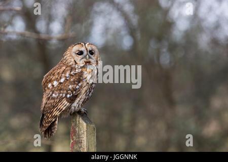 Tawny Owl; Strix aluco; Single on a Post Cornwall; UK - Stock Photo