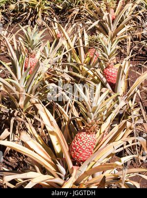 Hawaiian Pineapple Ready For Harvest - Stock Photo