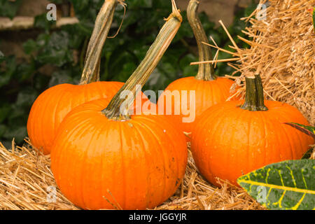 Bright Fall Pumpkins-Holiday decorations or ready for harvest food - Stock Photo
