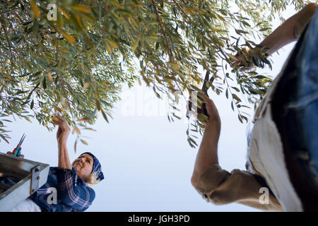 Couple pruning olive tree in farm on a sunny day - Stock Photo