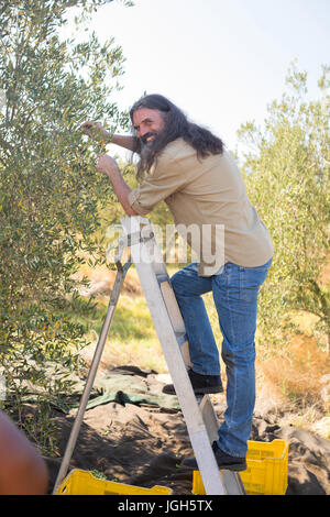 Happy man pruning olive tree in farm on a sunny day - Stock Photo