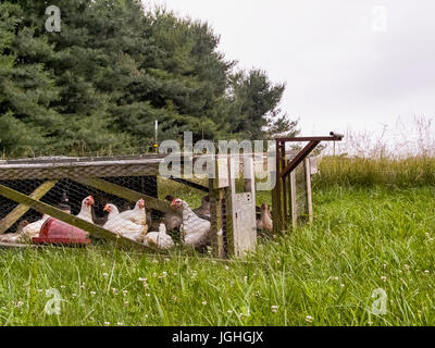 Hens in hen house, grazing rotation - Stock Photo