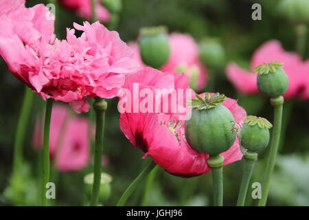 Opium poppy (papaver somniferum) flowering in an English garden with seedheads (pictured) drying for seed collection - Stock Photo
