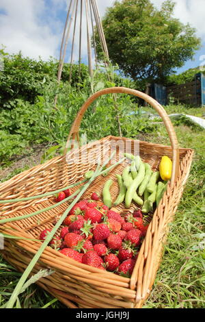 Freshly picked summer harvest including strawberries and broad beans in a wicker trug on an English allotment garden - Stock Photo