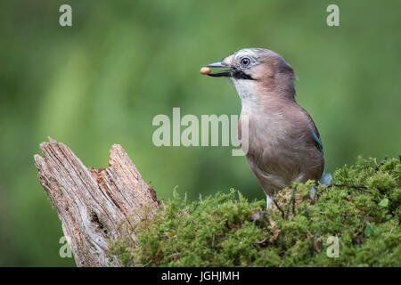 A profile portrait of a eurasian jay standing on lichen with a peanut in its beak looking left - Stock Photo