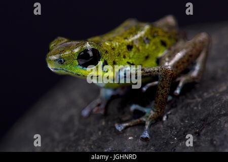 Green strawberry dart frog, Oophaga pumilio 'Chiriqui Verde' - Stock Photo
