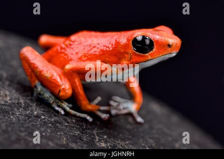 Strawberry dart frog, Oophaga pumilio 'Quebrada sal' - Stock Photo