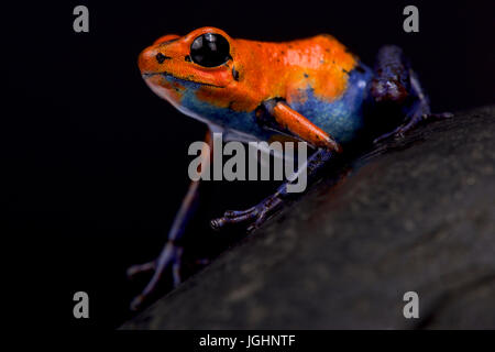 Strawberry dart frog, Oophaga pumilio 'Blue jeans Nicaragua' - Stock Photo