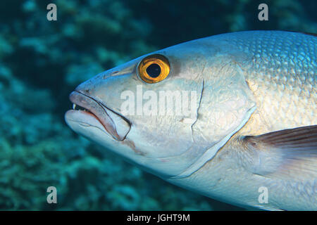 Head of two-spot red snapper fish (Lutjanus bohar) underwater in the indian ocean - Stock Photo
