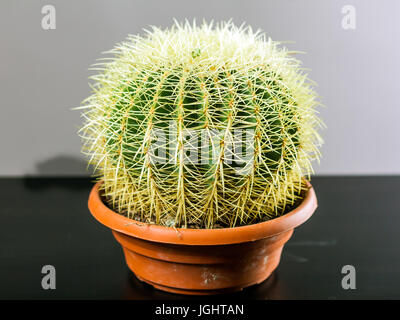 Big green cactus with large needles in a brown pot on a black isolated background - Stock Photo