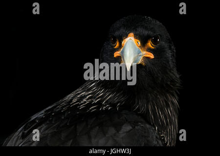 Striated Caracara - Stock Photo