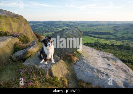 Border Collie sitting on rocks at Baslow edge in the Peak District, Derbyshire, England. - Stock Photo