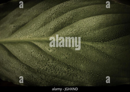 Close up (macro) photograph of a green leaf in low saturation, covered in fine water drops.  Moody, atmosperhic - Stock Photo