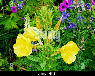 Open yellow flowers, growing on a thick hairy stem in a garden flowerbed. - Stock Photo