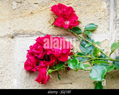 Group of climbing red roses, in full bloom, with dark green foliage set against a cream brickwall - Stock Photo
