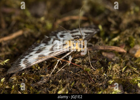 Small Magpie (Anania hortulata) moth - Stock Photo