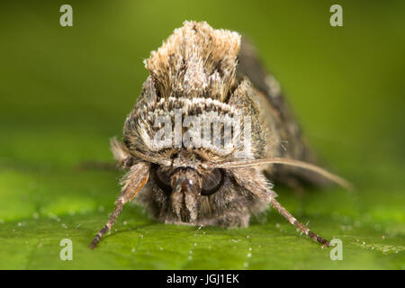headshot of Spectacle moth (Abrostola tripartita) - Stock Photo