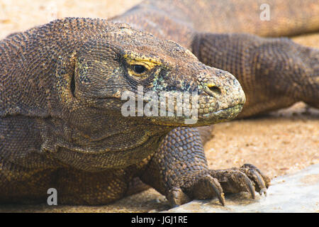Komodo dragon, Komodo island - Stock Photo