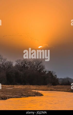 Sandhill Cranes, Antigone canadensis, flying back to their night roost at sunset along the Platte River during their - Stock Photo