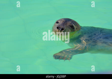 Happy seal swimming in the water - Stock Photo